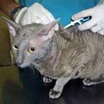 В субботу в Ласнамяэ в Кивиласком парке будут вживлять чипы кошкам.